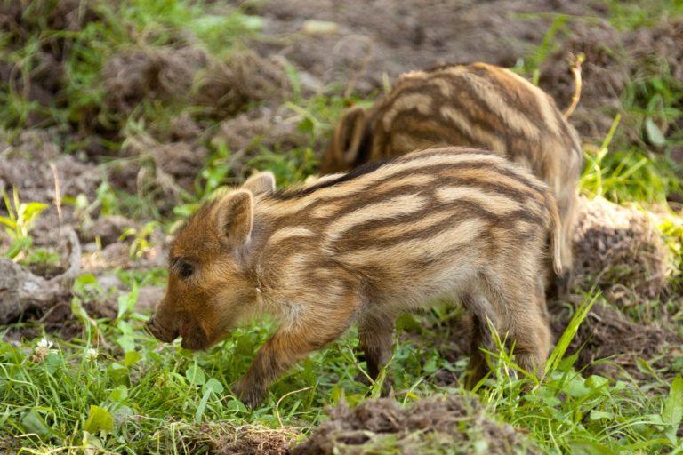 Wild boar piglets Sustainable Travel Ireland