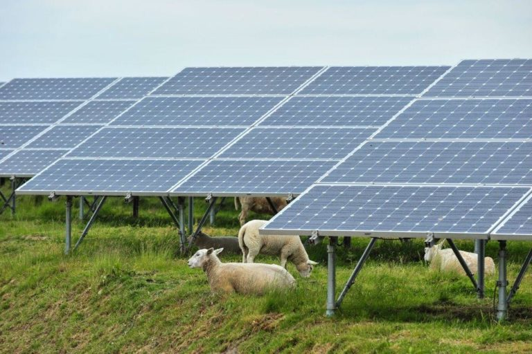Solar energy and sheep farms